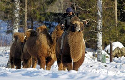 camelsinSweden