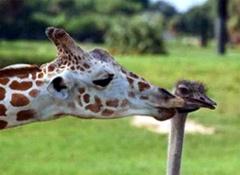 giraffe&ostrich
