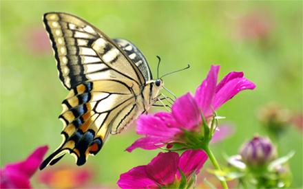 butterfly-pinkflower